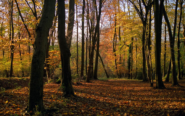 Colors of Fall (5 of 18) | Ashridge Park, Hertfordshire, UK | View of Beech Woodlands in Autumn